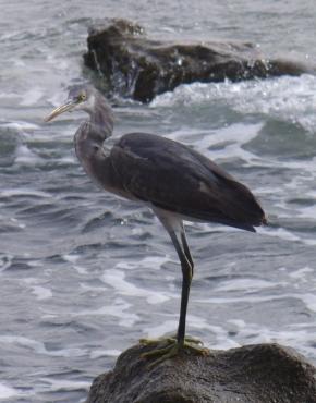 western-reef-heron_gray_blog