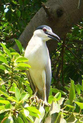 night-heron2_gizazoo_blog