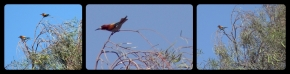 Bee-eater strip
